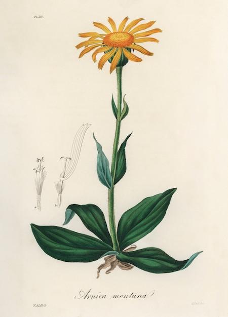 Berg arnica (arnica montana) illustratie uit medische plantkunde (1836) Gratis Foto