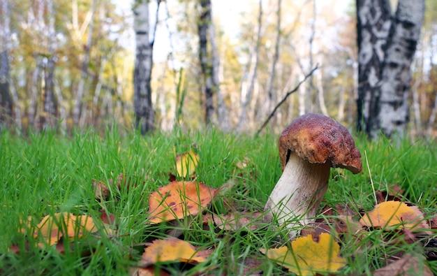 Berk bos. witte paddestoel. eekhoorntjesbrood paddestoel groeien in herfst bos. Premium Foto