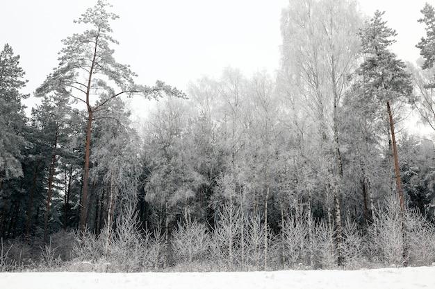 Berken, sparren en loofbomen bevroren tijdens de nachtvorst, winterlandschap in een gemengd bos tijdens de kou Premium Foto
