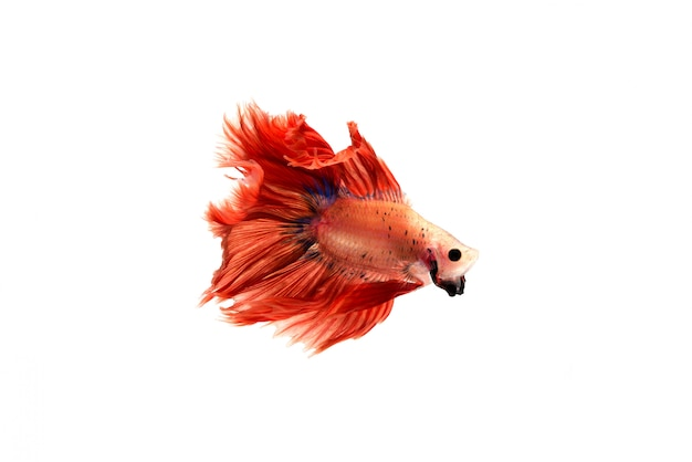 Betta fish Gratis Foto