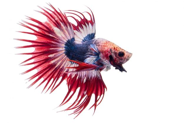 Betta fish Gratis Foto