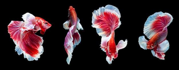 Betta splendens, siamese fighting fish Premium Foto