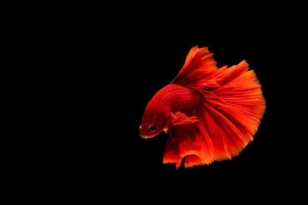 Betta vis, kempvissen, betta splendens geïsoleerd op zwarte achtergrond Premium Foto