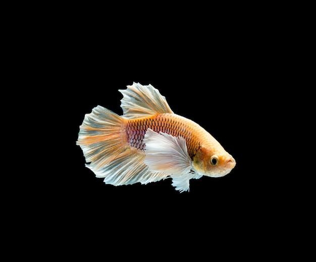 Betta-vissen, het siamese vechten, betta splendens geïsoleerd op zwarte achtergrond Premium Foto