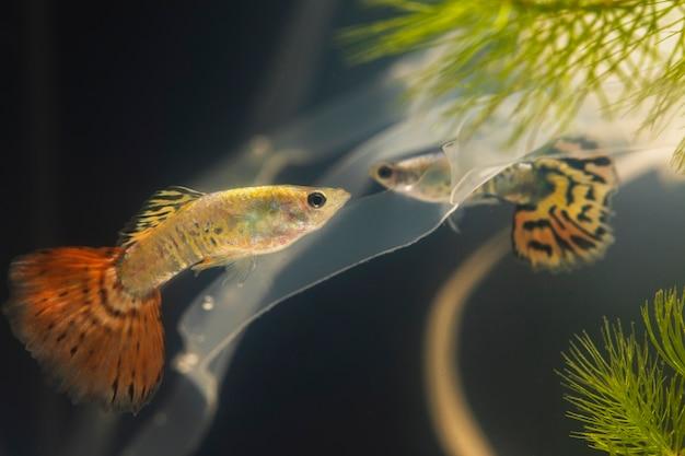 Betta vissen zwemmen in plastic materialen Gratis Foto