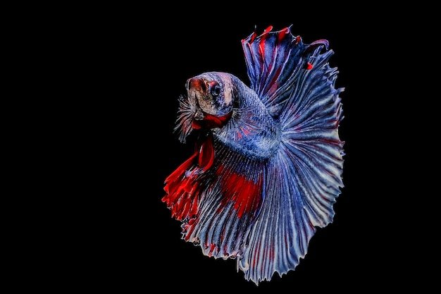 Bettavissen, siamese het vechten vissen op zwarte achtergrond Premium Foto
