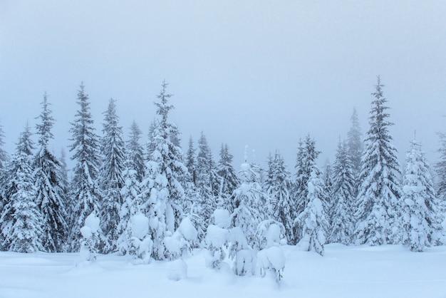 Bevroren winter bos in de mist. pijnboomboom in aard die met verse karpatische sneeuw wordt behandeld, de oekraïne Gratis Foto