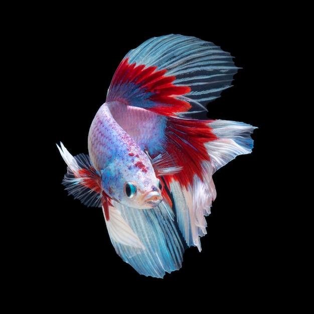 Beweging van betta vis, kempvissen, betta splendens geïsoleerd op zwart Premium Foto