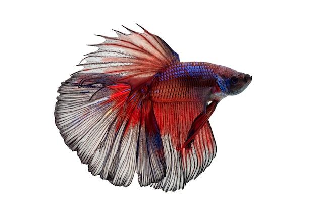 Beweging van betta-vissen, kempvissen, geïsoleerde betta splendens Premium Foto