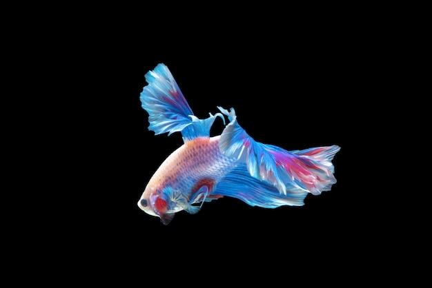 Beweging van betta-vissen, siamese vechtvissen Premium Foto