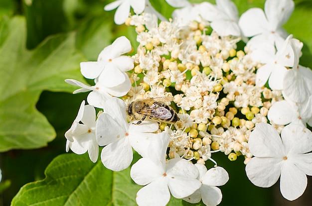 Bij op een bloeiwijze van witte bloemen met selectieve nadruk. detailopname. insecten Premium Foto