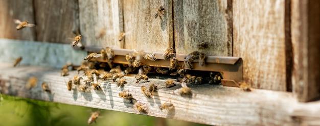 Bijen keren terug naar de bijenkorf en gaan de bijenkorf binnen met verzamelde bloemennectar en stuifmeel. zwerm bijen die nectar van bloemen verzamelen. gezonde biologische boerderijhoning. Premium Foto