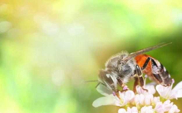 Bijen op witte bloem natuur groene gele achtergrond Premium Foto