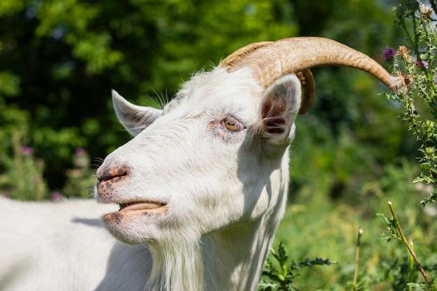 Binnenlandse geit opgegroeid op boerderij Gratis Foto
