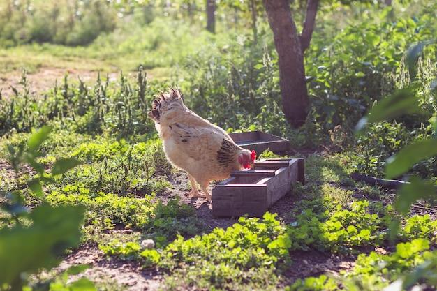 Binnenlandse kip die korrels eet Gratis Foto