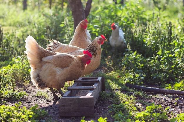 Binnenlandse kippen die bij landbouwbedrijf korrels eten Gratis Foto