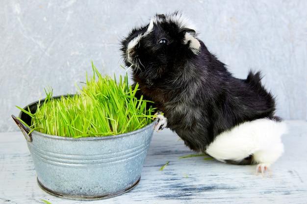 Blacck-proefkonijn dichtbij vaas met vers gras. Premium Foto