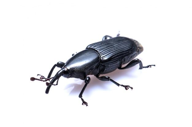 Black beetle op wit Premium Foto