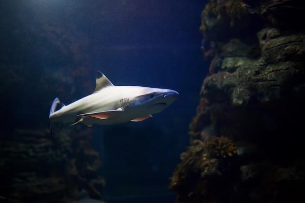 Blacktip reef haaien zwemmen in tropische wateren over koraalrif Premium Foto