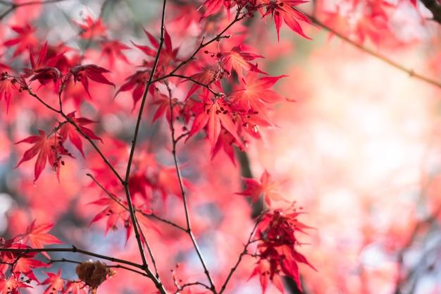 Blad van de close-up het natuurlijke rode esdoorn met zonlicht in dalingsseizoen. Premium Foto
