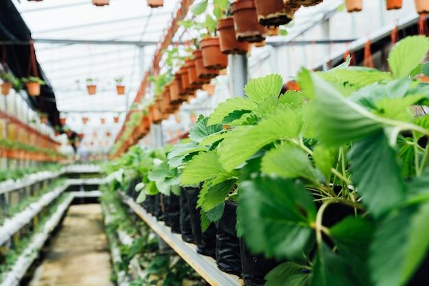 Bladeren van aardbeiplanten op de binnenpassage van een plantenkwekerij Premium Foto