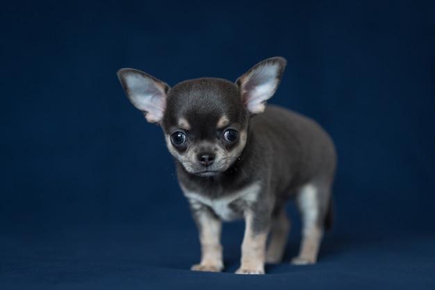 Blauw chihuahua-puppy op een klassieke blauwe achtergrond. Premium Foto