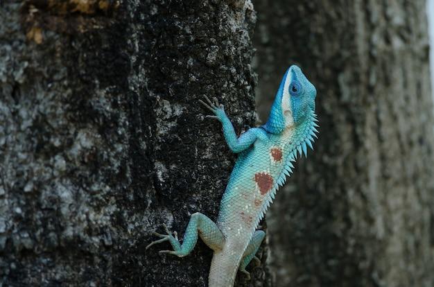 Blauw-kuifhagedis of indochinese boshagedis Premium Foto