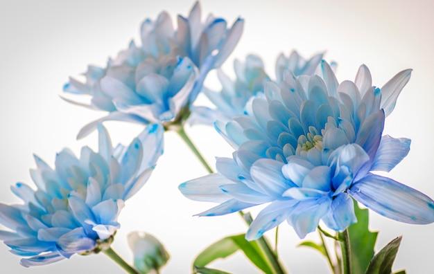 Blauwe chrysant Premium Foto
