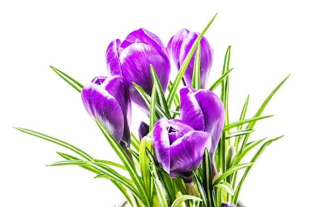 Blauwe crocus lentebloemen op een witte achtergrond in de studio Premium Foto