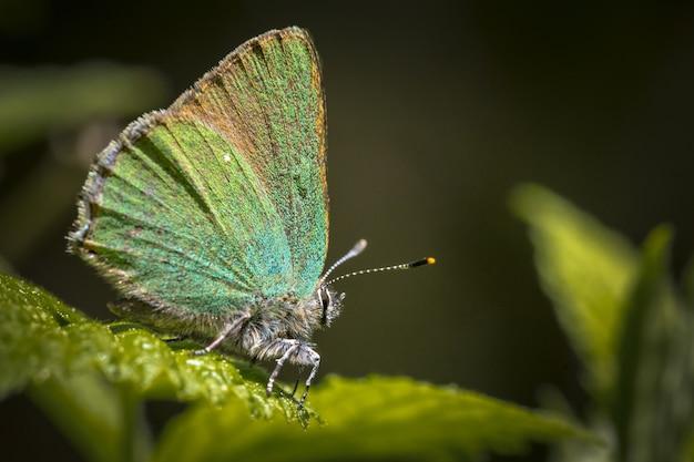 Blauwe en bruine vlinder zat op groen blad Gratis Foto