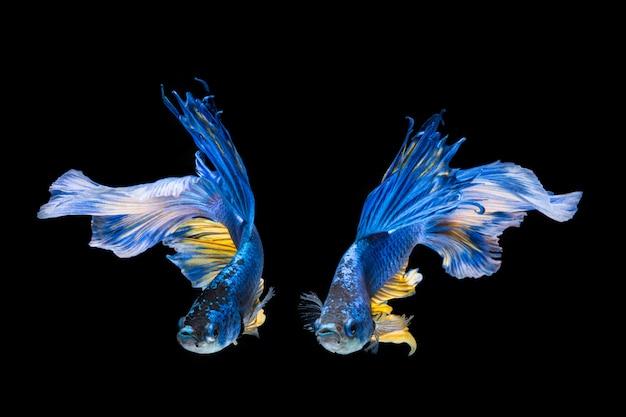 Blauwe en gele bettavissen, siamese het vechten vissen op zwarte achtergrond Premium Foto