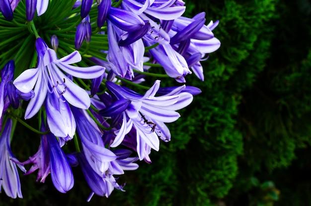 Blauwe en purpere kleuren afrikaanse lelie die (kaap blauwe lelie) in tuin bloeien Premium Foto