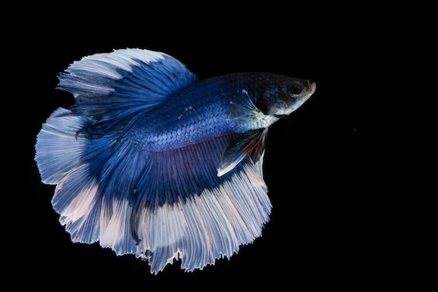 Blauwe en witte betta vis, kempvissen op zwarte achtergrond blauwe en witte betta vis, kempvissen op zwarte achtergrond Premium Foto