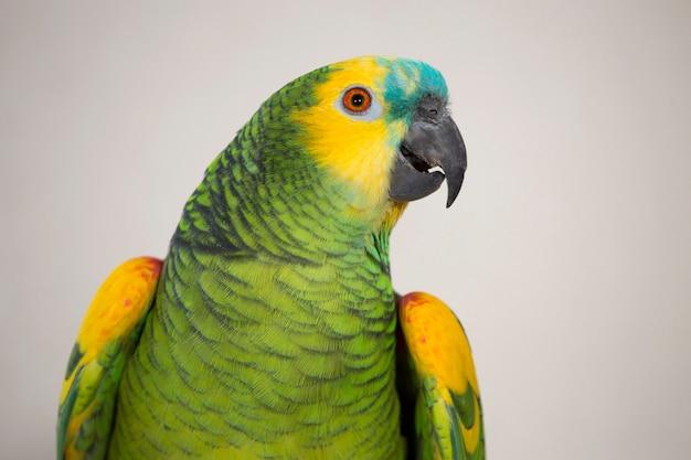 Blauwe fronted amazone papegaai Premium Foto