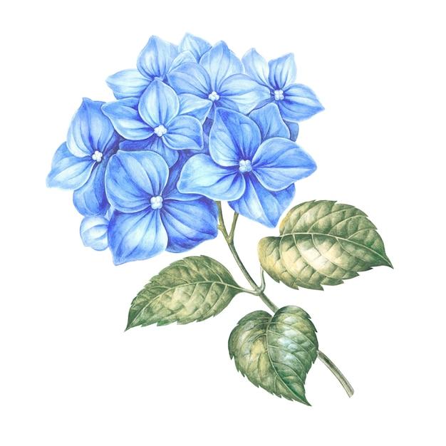 Blauwe hortensia bloemen. Premium Foto