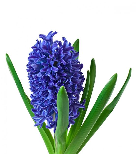 Blauwe hyacint geïsoleerd Gratis Foto