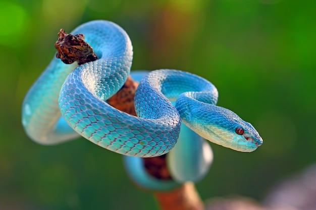 Blauwe insularis pit adder slangen, trimeresurus albolabris Premium Foto
