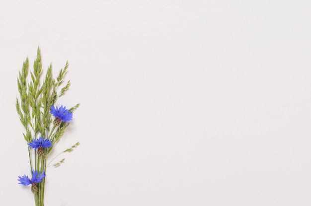 Blauwe korenbloemen op witte ondergrond Premium Foto