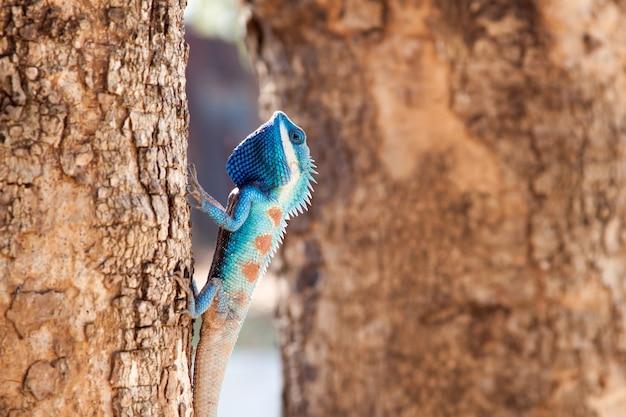 Blauwe kuifhagedis die de boom beklimt Premium Foto