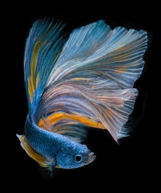 Blauwe lange betta-vissen met halve maan. Premium Foto