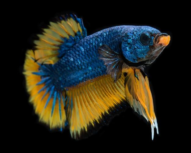 Blauwe mosterd mooie koi melkweg betta vis. Premium Foto