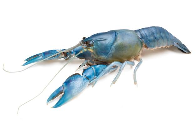 Blauwe rivierkreeften (destructor cherax) op witte achtergrond. Premium Foto