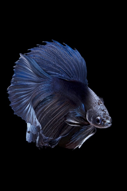 Blauwe siamese vechten vis op zwarte achtergrond Premium Foto