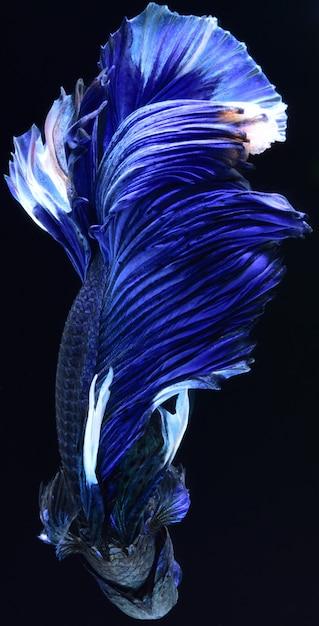 Blauwe vechtvis. Premium Foto