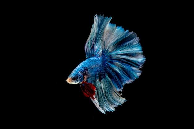 ิ blauwe vis. veelkleurige vechtvis Premium Foto