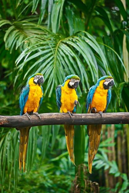 Blauwgele ara Premium Foto