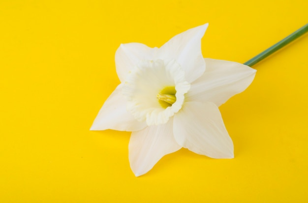 Bleke lichte bloemen van narcissen op fel geel Premium Foto
