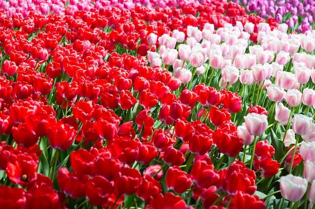 Bloeiend kleurrijk tulpenbloembed in openbare bloementuin in nederland. Premium Foto