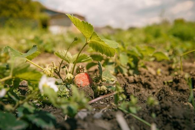 Bloeiende aardbei plant in het veld Premium Foto