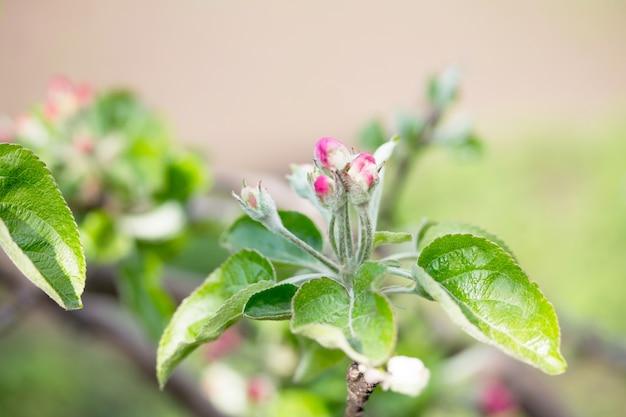 Bloeiende appelboom op de achtergrond van de natuur. lente bloemen. lente achtergrond. Premium Foto
